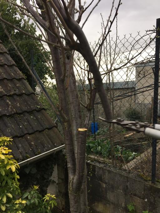 Découpe de la branche sur laquelle doit être inséré le greffon