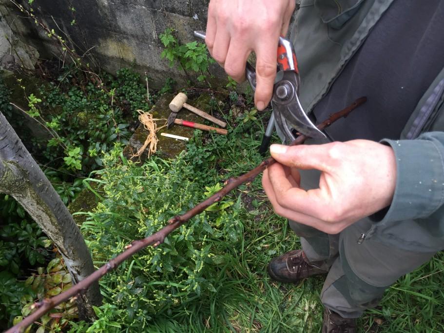 Découpe du morceau de branche pour en faire un greffon